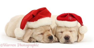 Sleeping Yellow Labrador pups wearing Santa hats