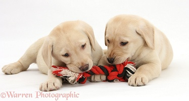 Yellow Labrador Retriever puppies chewing a ragger
