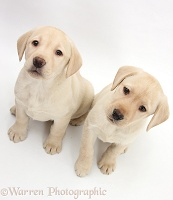 Yellow Labrador Retriever puppies, 8 weeks old
