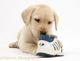 Yellow Labrador pup chewing a child's shoe