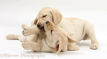 Yellow Labrador Retriever puppies play-fighting