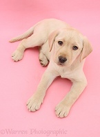 Yellow Labrador Retriever on pink background