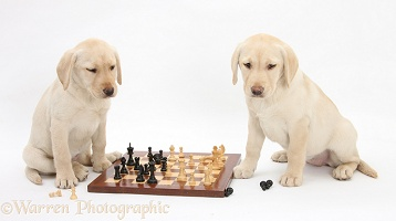 Yellow Labrador Retriever pups playing chess