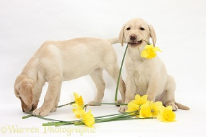 Yellow Labrador Retriever pups lying with daffodils
