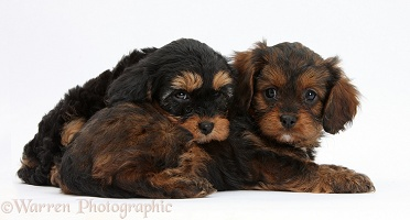 Black-and-tan Cavapoo pups