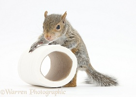 Young Grey Squirrel with loo roll