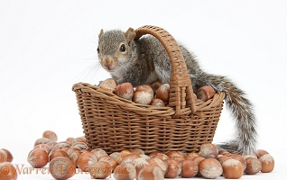 Young Grey Squirrel with wicker basket of hazel nuts
