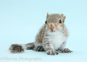 Young Grey Squirrel on blue background