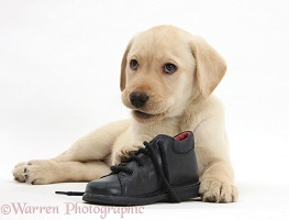 Yellow Labrador pup with a child's shoe