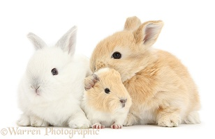 White and sandy rabbits with Guinea pig
