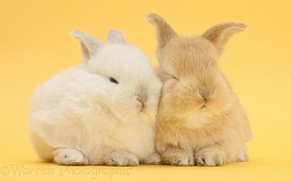 White and sandy rabbits on yellow background