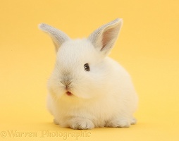 White rabbit on yellow background