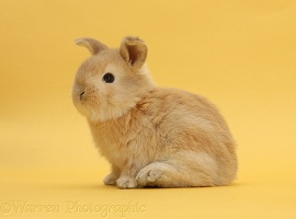 Sandy rabbit on yellow background