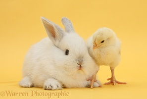White rabbit and bantam chick on yellow background