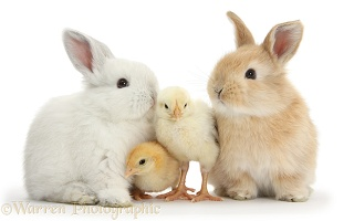 Sandy and white rabbits and yellow bantam chicks