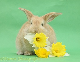 Young sandy rabbit eating daffodils on green background