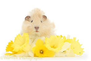 Young cinnamon-and-white Guinea pig with daffodils