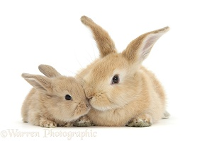 Sandy rabbit and baby
