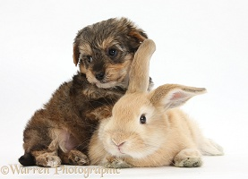 Yorkipoo pup, 6 weeks old, with sandy rabbit