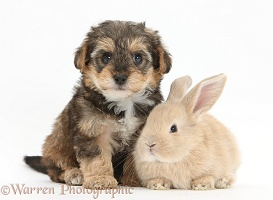 Yorkipoo pup, 6 weeks old, with baby sandy rabbit