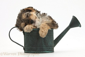 Yorkipoo pup sleeping in a watering can