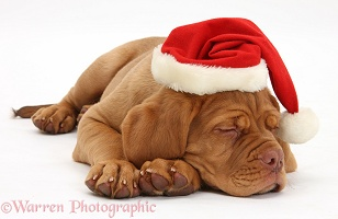 Dogue de Bordeaux puppy sleeping with Santa hat on