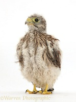 Baby Kestrel chick