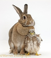 Baby Kestrel chick and agouti rabbit