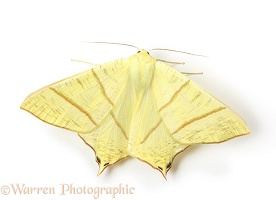 Swallotail moth