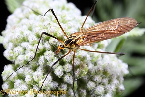 Tiger Cranefly showing haltere
