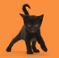Black kitten, 6 weeks old, walking cautiously