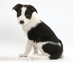 Black-and-white Border Collie pup looking over his shoulder