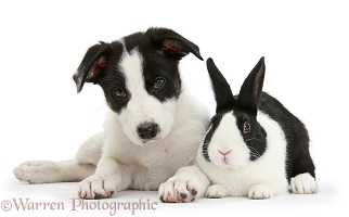 Black-and-white Border Collie pup and Dutch rabbit