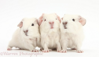 Three new white baby Guinea pigs