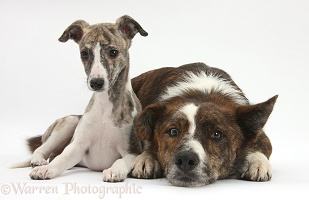 Whippet pup and mongrel dog