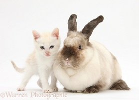 Cream kitten and colourpoint rabbit