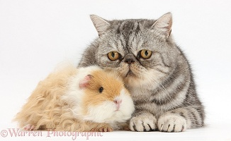 Alpaca Guinea pig and Silver tabby Exotic cat