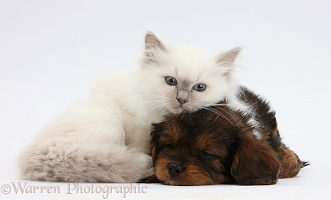 Sleepy black-and-tan Cavapoo pup and blue-point kitten
