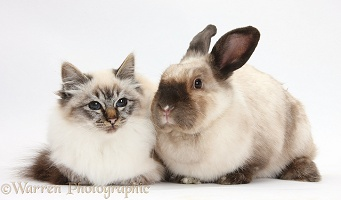 Birman cat and colourpoint rabbit