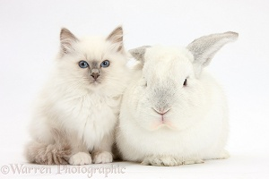 Blue-point kitten with white rabbit