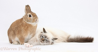 Birman cat and rabbit