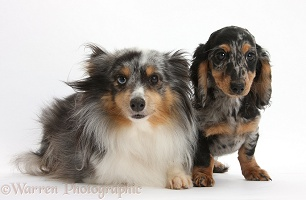 Sheltie and Dachshund pup