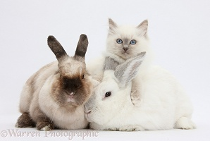 Blue-point kitten with white and colourpoint rabbits