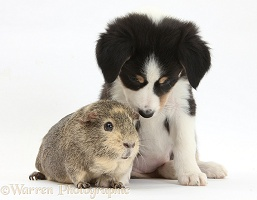 Border Collie pup, 6 weeks old, and Guinea pig
