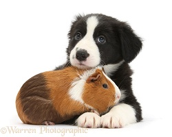 Border Collie pup and Guinea pig