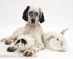 Blue Belton English Setter with rabbit and Guinea pig