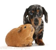 Tricolour merle Dachshund pup and red Guinea pig