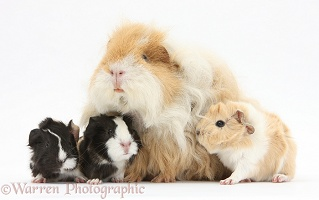 Alpaca Guinea pig and babies