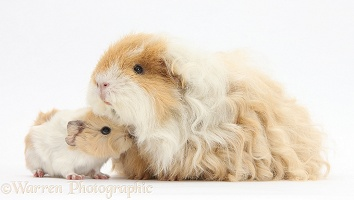 Alpaca Guinea pig and baby