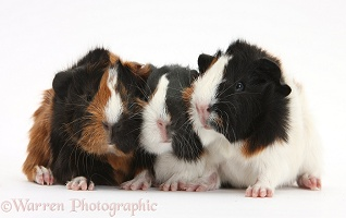 Three tricolour young Guinea pigs